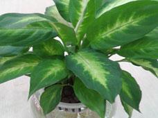 斑马万年青(水培植物)