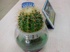 金琥球(水培植物)