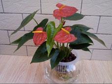 红掌(水培植物)