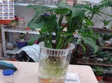 滴水观音(水培植物)