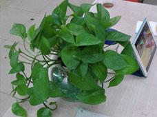 吊绿萝(水培植物)