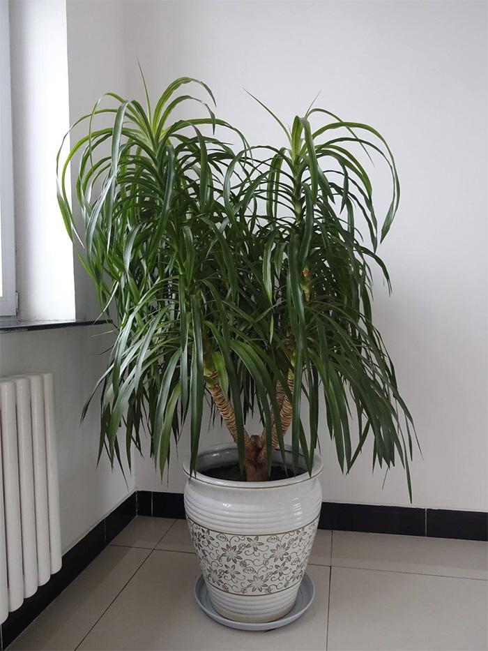 龙血树(常见室内绿化植物)