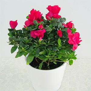 杜鹃花|常见绿化盆栽