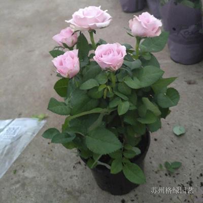 苏州花卉租摆